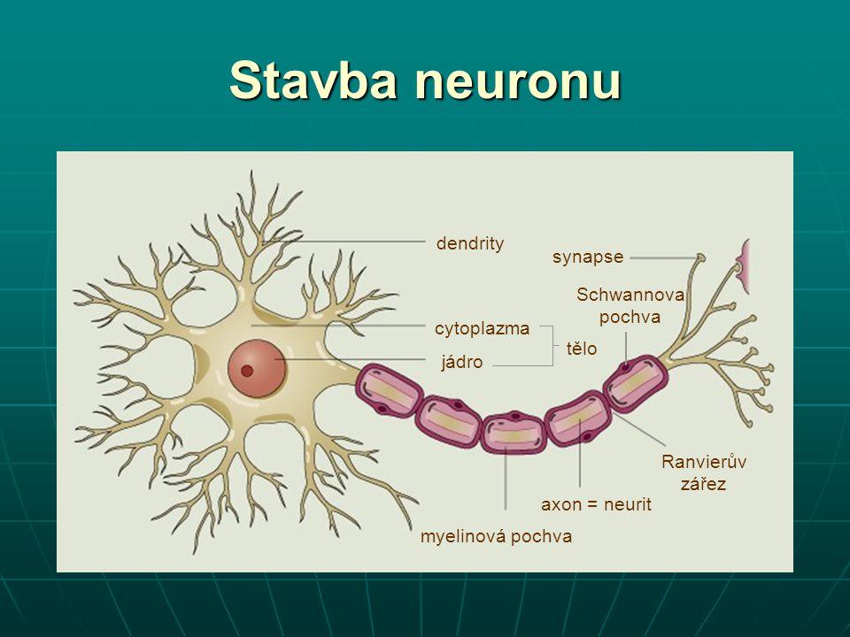 Stavba neuronu dendrity synapse Schwannova pochva cytoplazma tělo