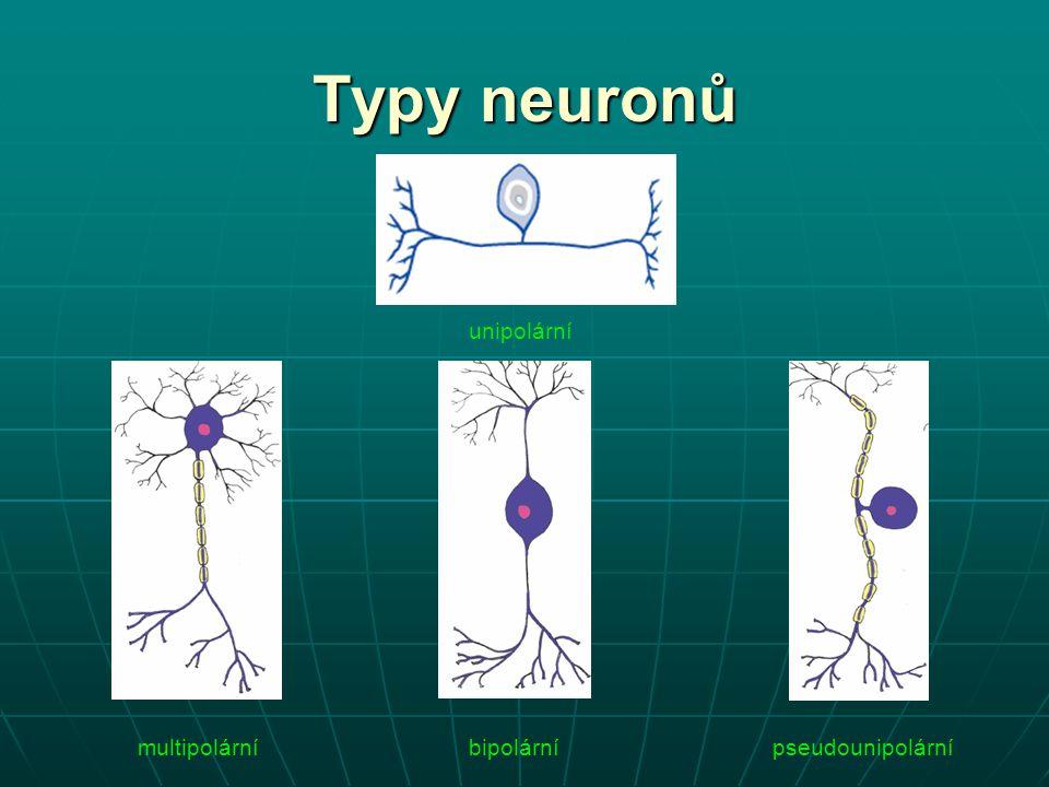 Typy neuronů unipolární multipolární bipolární pseudounipolární