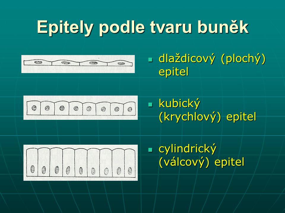 Epitely podle tvaru buněk