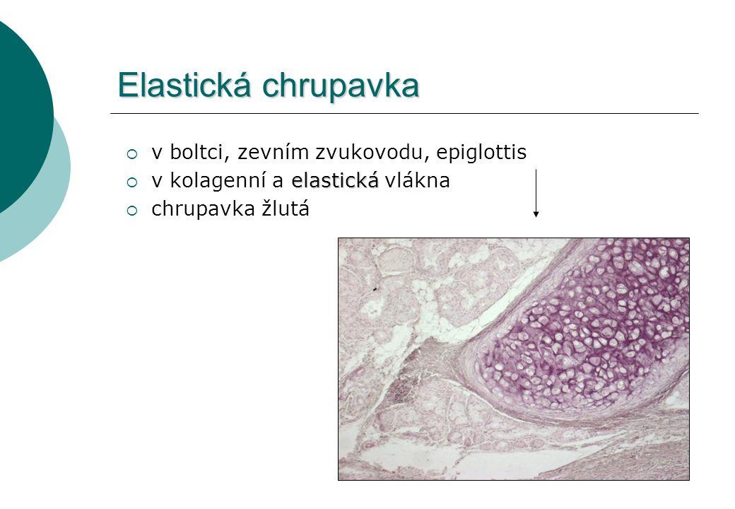 Elastická chrupavka v boltci, zevním zvukovodu, epiglottis