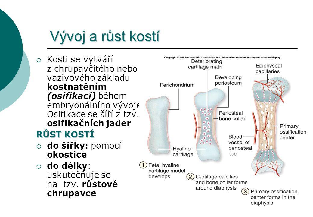 Vývoj a růst kostí