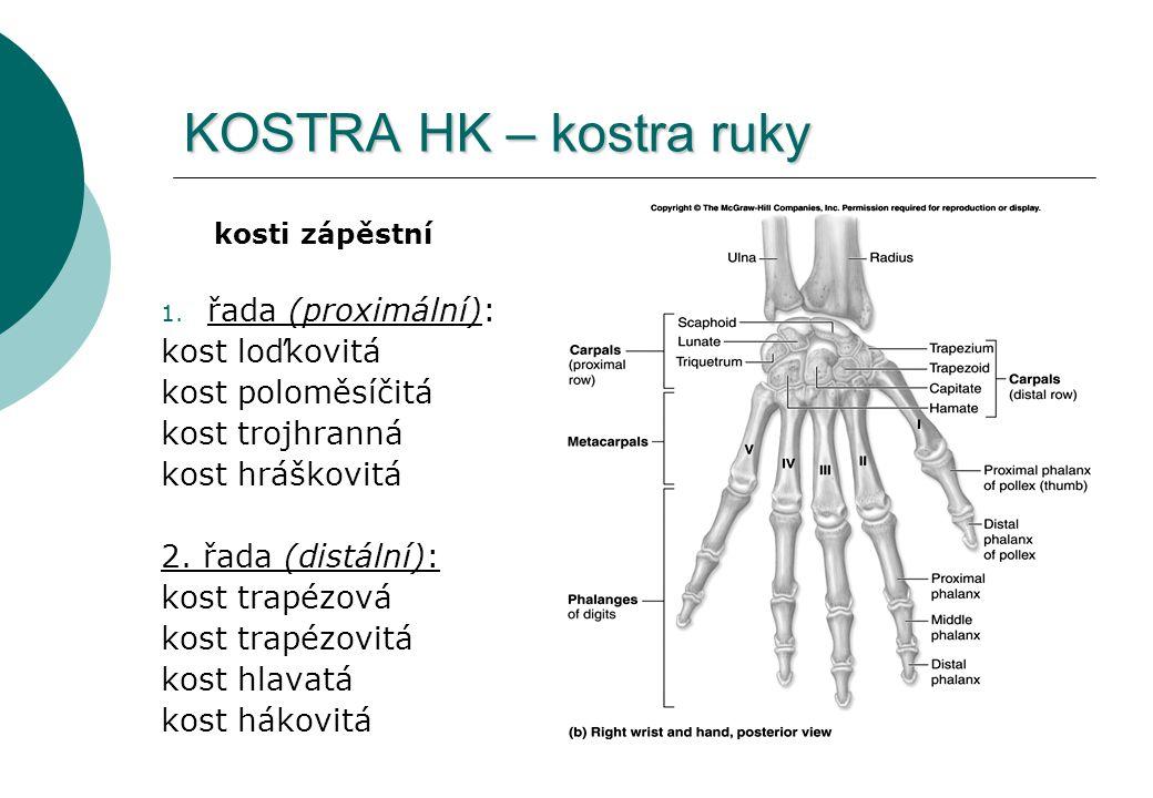 KOSTRA HK – kostra ruky řada (proximální): kost loďkovitá