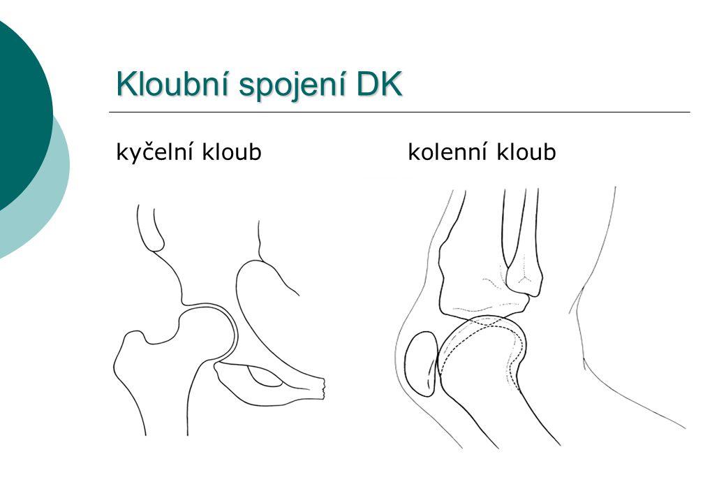 Kloubní spojení DK kyčelní kloub kolenní kloub