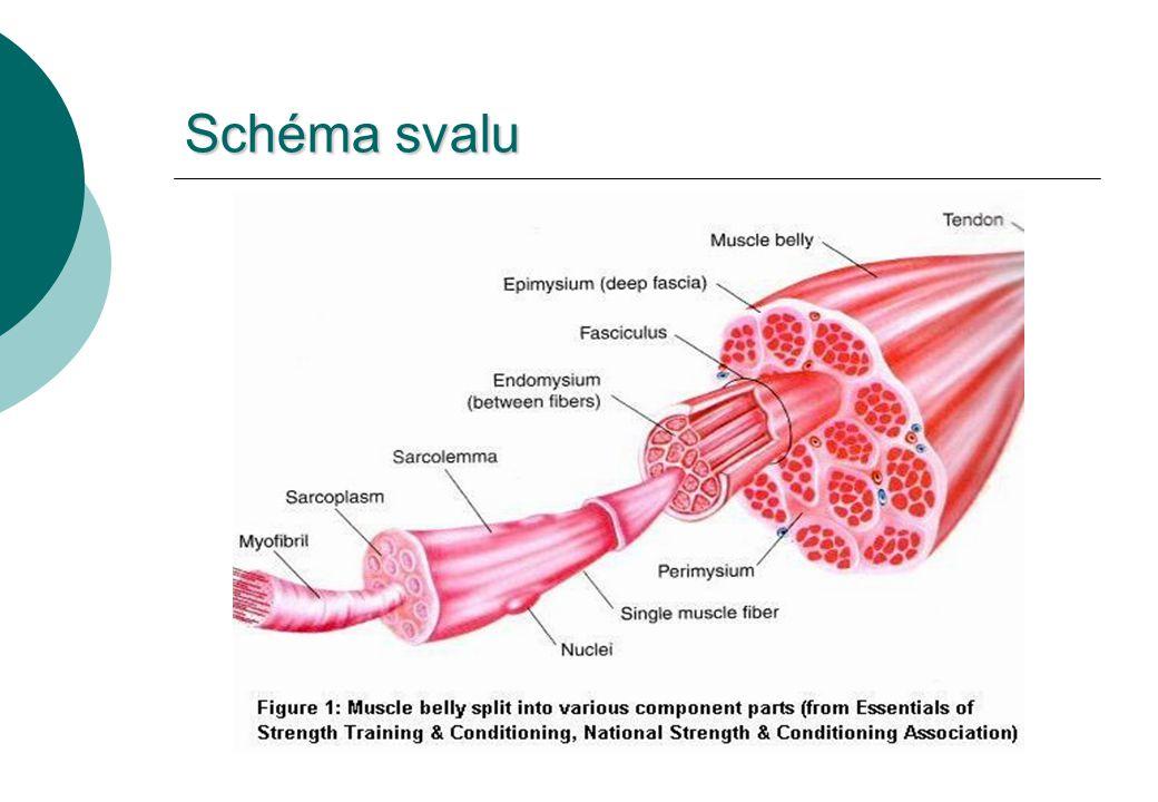 Schéma svalu