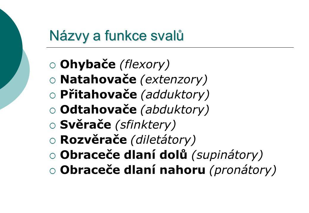 Názvy a funkce svalů Ohybače (flexory) Natahovače (extenzory)