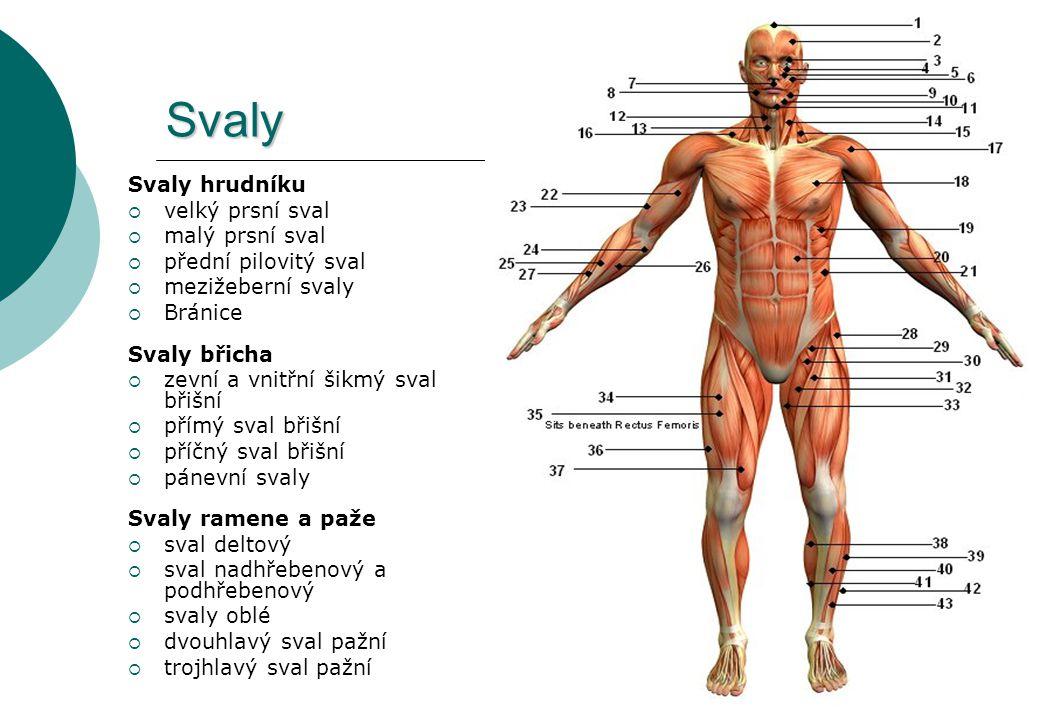 Svaly Svaly hrudníku velký prsní sval malý prsní sval