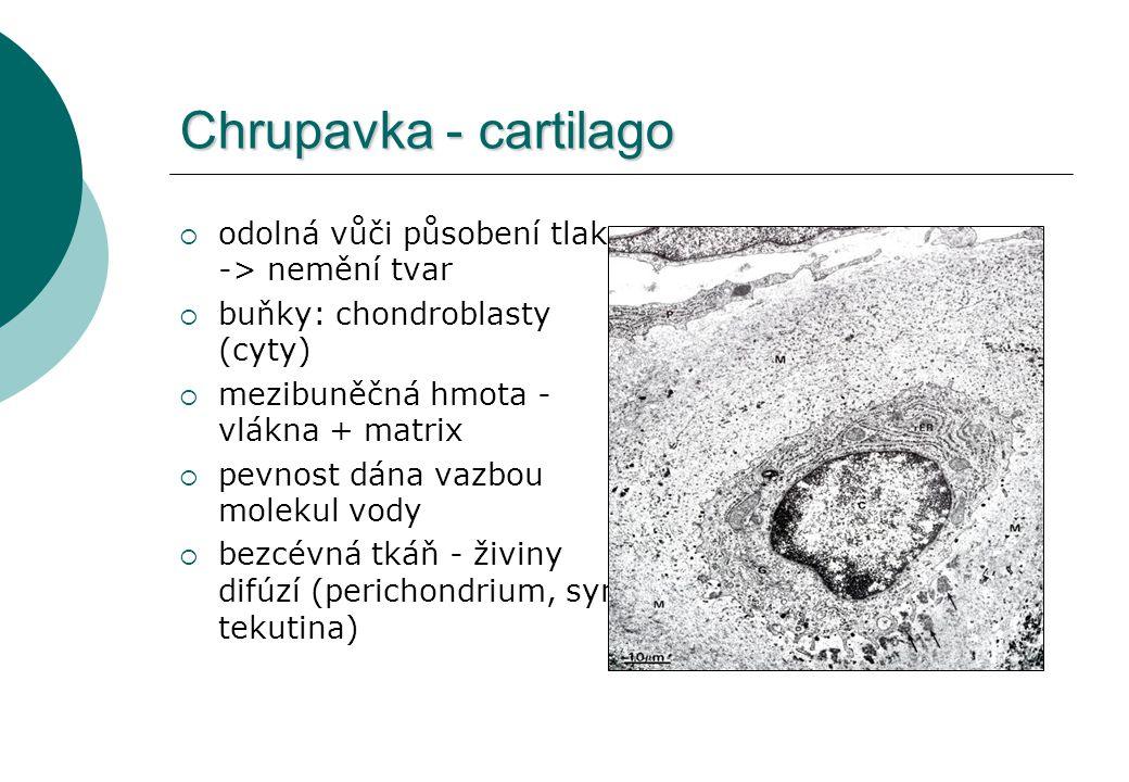 Chrupavka - cartilago odolná vůči působení tlaku -> nemění tvar