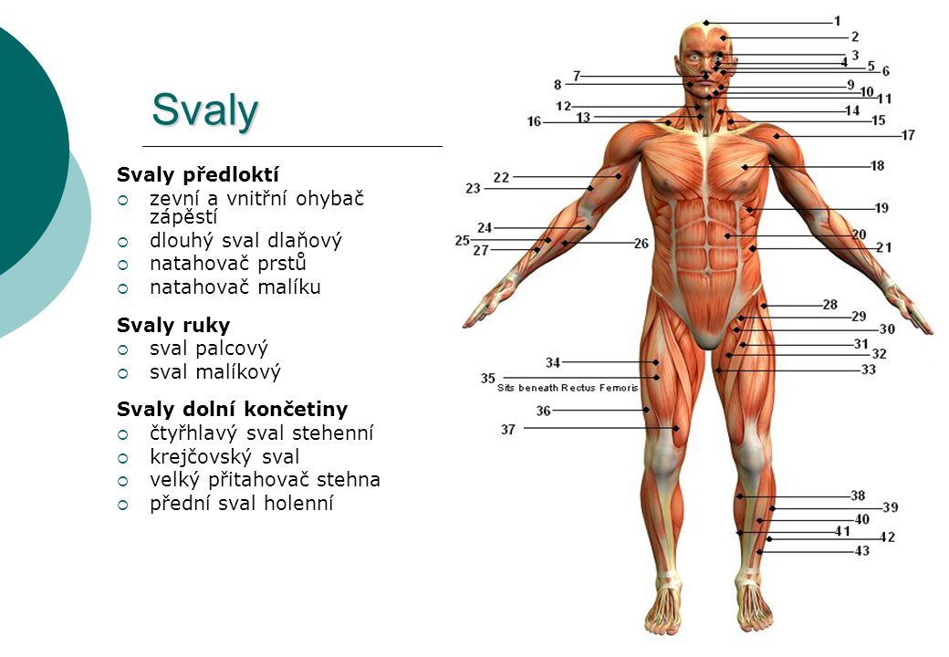 Svaly Svaly předloktí zevní a vnitřní ohybač zápěstí
