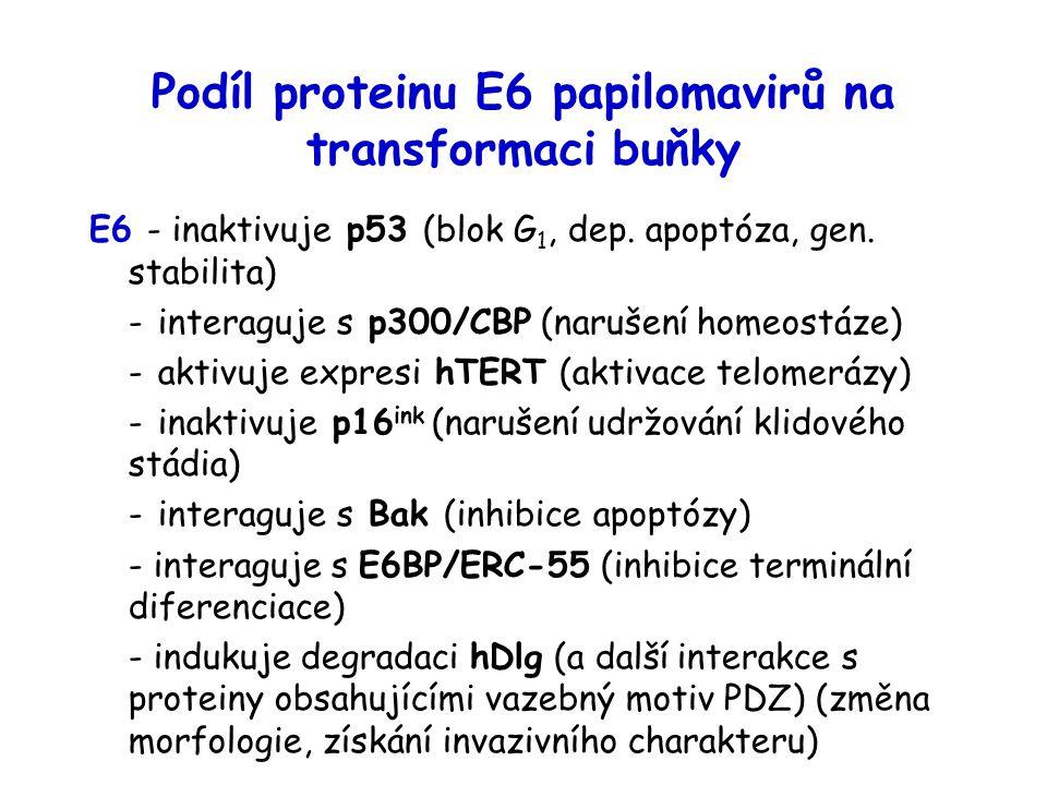 Podíl proteinu E6 papilomavirů na transformaci buňky