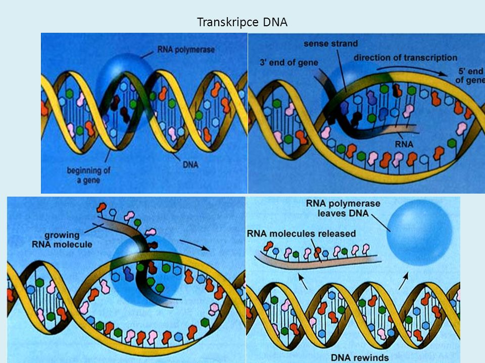 Transkripce DNA
