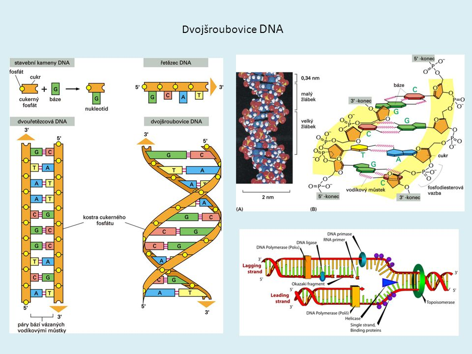 Dvojšroubovice DNA