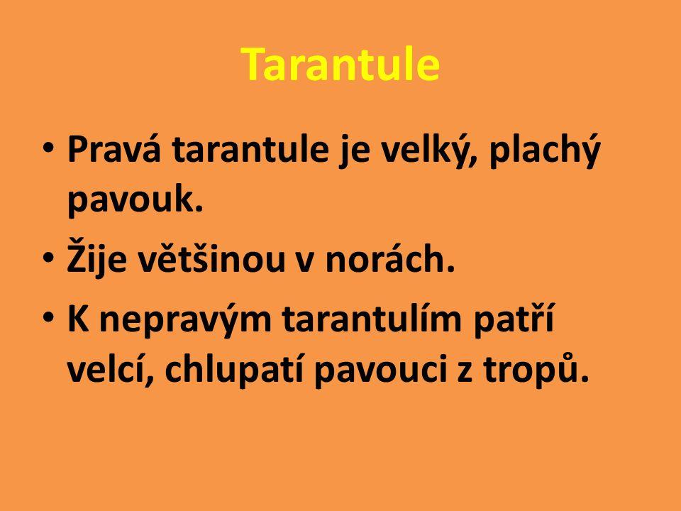 Tarantule Pravá tarantule je velký, plachý pavouk.
