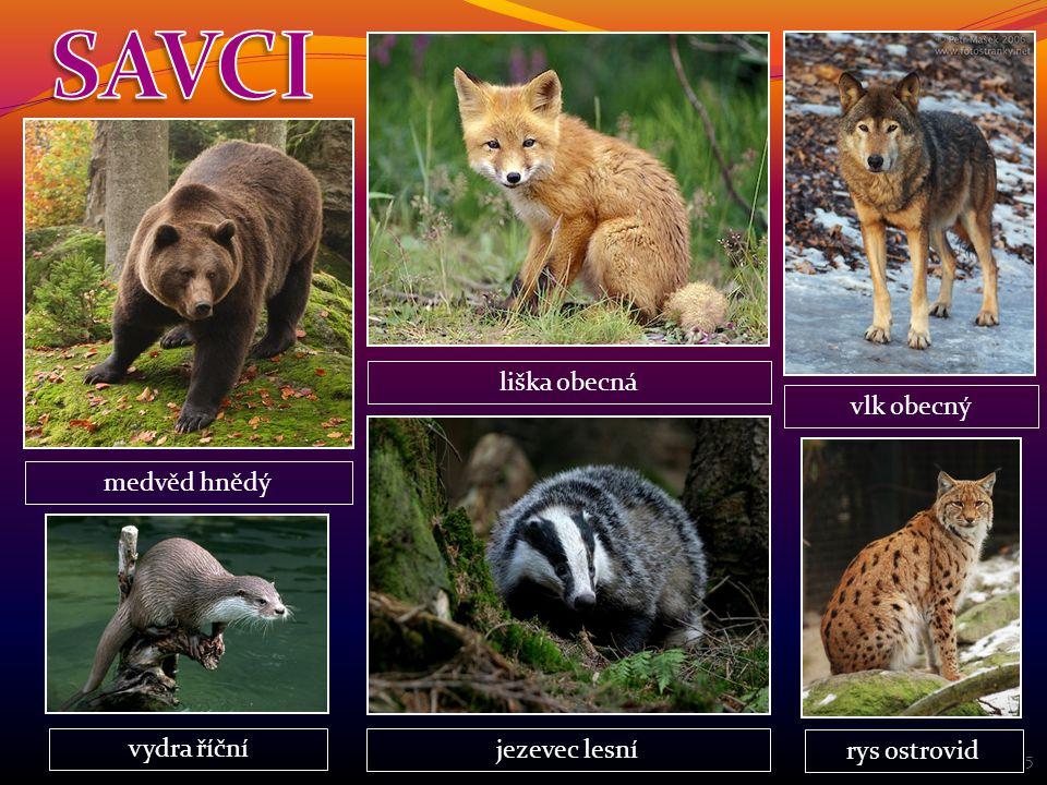 SAVCI liška obecná vlk obecný medvěd hnědý vydra říční jezevec lesní