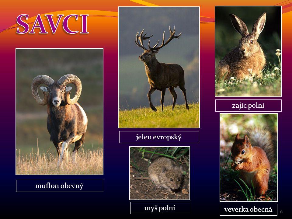 SAVCI zajíc polní jelen evropský muflon obecný myš polní