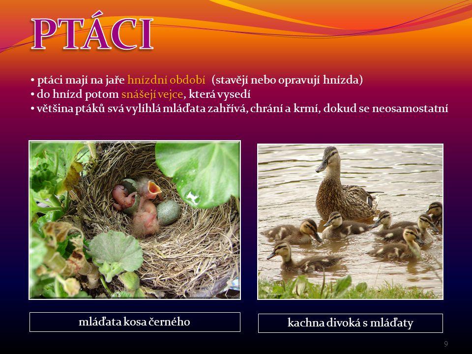 kachna divoká s mláďaty