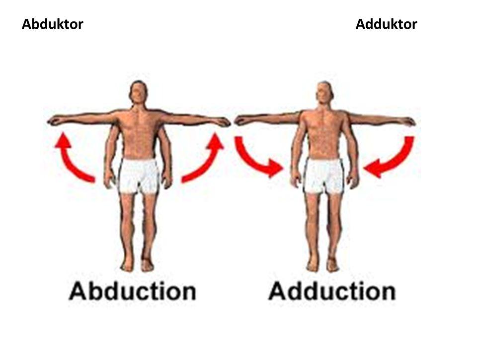 Abduktor Adduktor