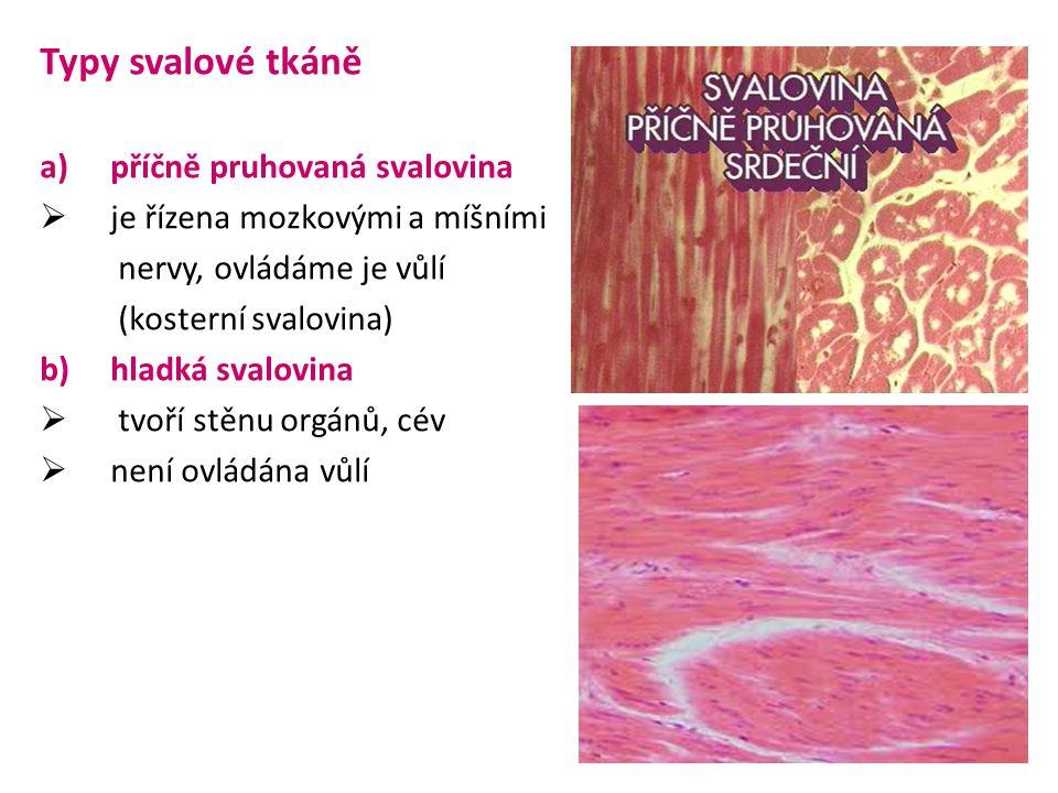 Typy svalové tkáně příčně pruhovaná svalovina