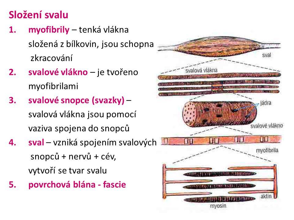 Složení svalu myofibrily – tenká vlákna