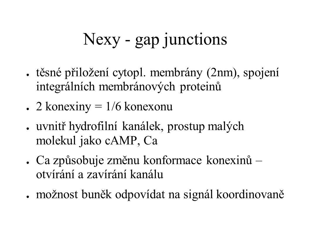 Nexy - gap junctions těsné přiložení cytopl. membrány (2nm), spojení integrálních membránových proteinů.