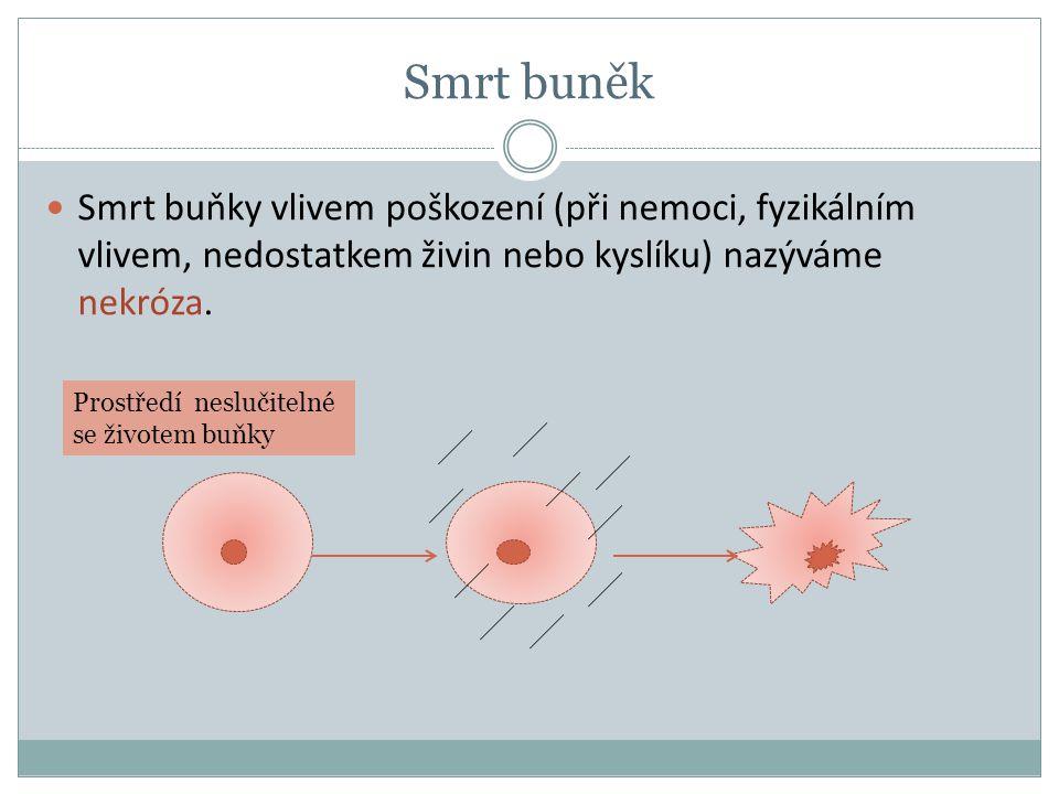 Smrt buněk Smrt buňky vlivem poškození (při nemoci, fyzikálním vlivem, nedostatkem živin nebo kyslíku) nazýváme nekróza.