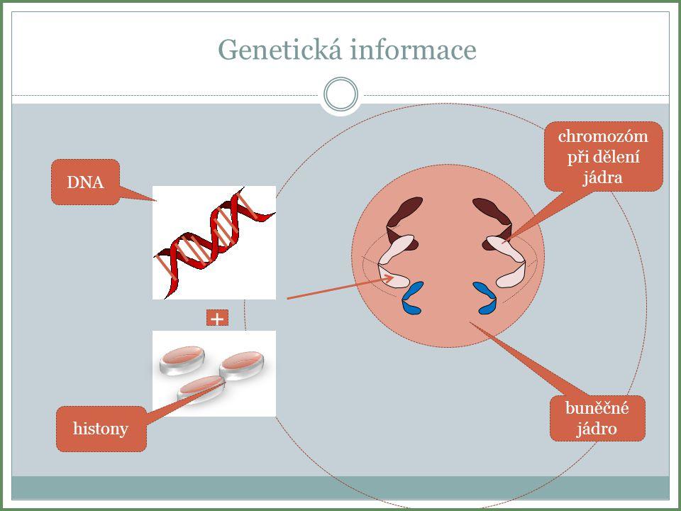 chromozóm při dělení jádra