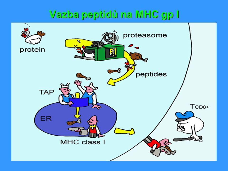 Vazba peptidů na MHC gp I