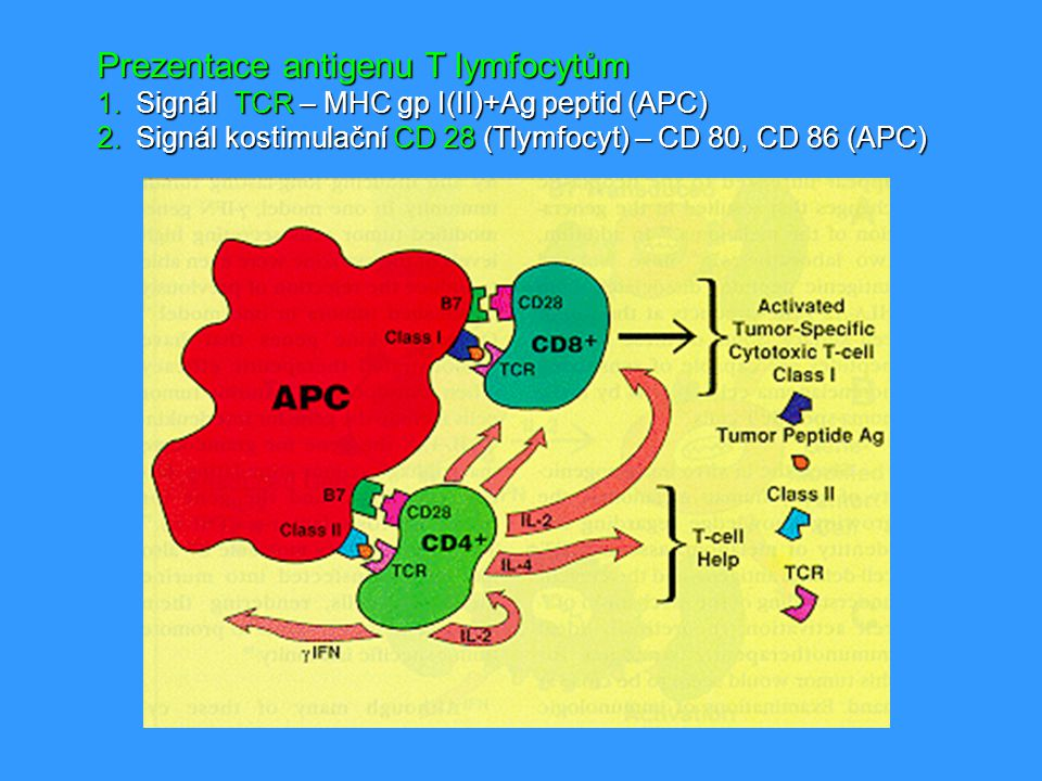 Prezentace antigenu T lymfocytům