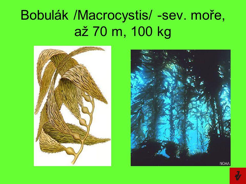Bobulák /Macrocystis/ -sev. moře, až 70 m, 100 kg