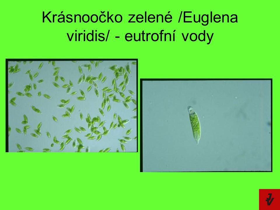 Krásnoočko zelené /Euglena viridis/ - eutrofní vody