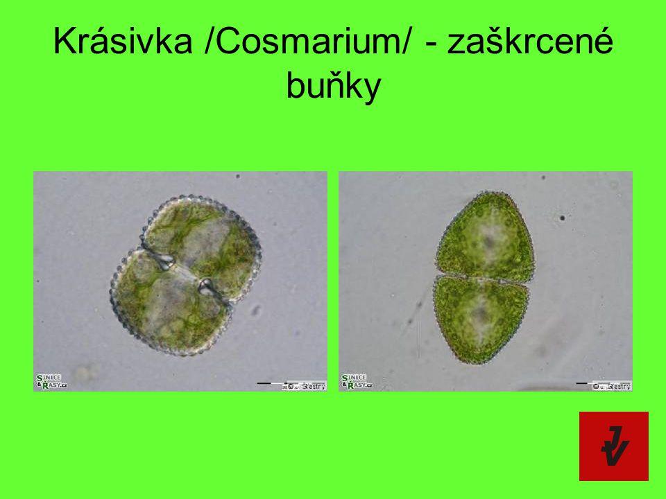 Krásivka /Cosmarium/ - zaškrcené buňky