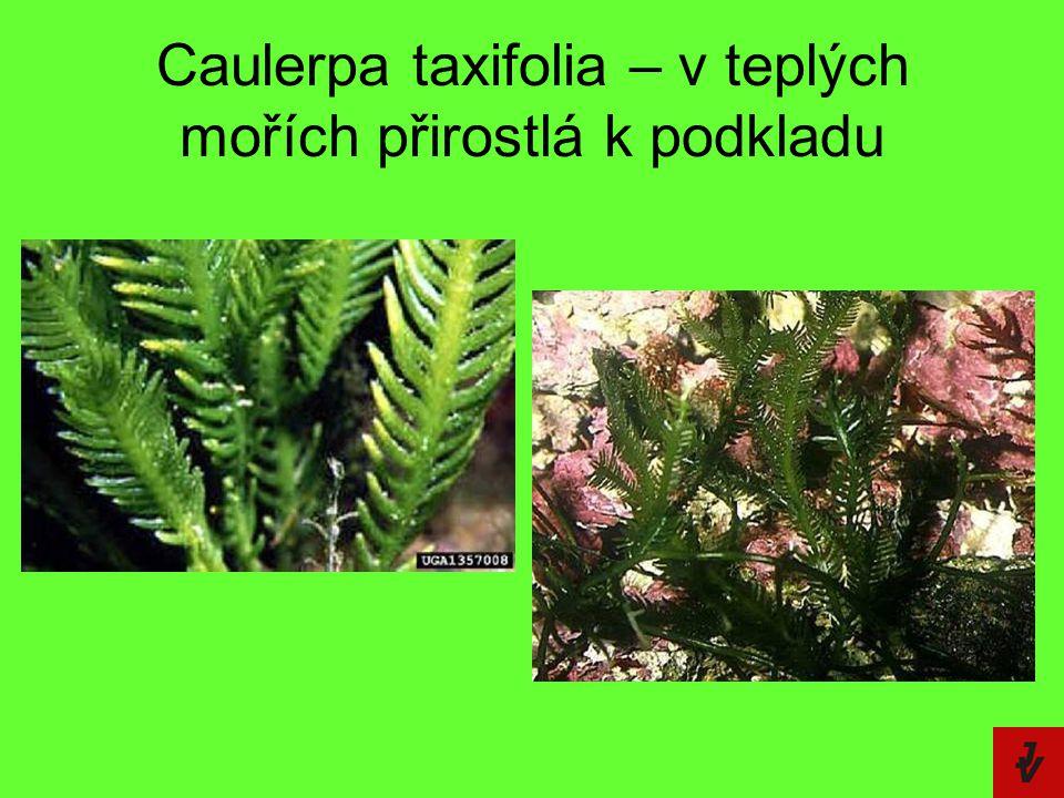 Caulerpa taxifolia – v teplých mořích přirostlá k podkladu