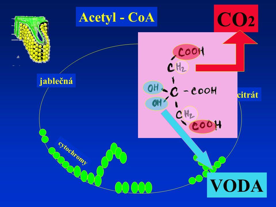 CO2 Acetyl - CoA jablečná izocitrát cytochromy VODA