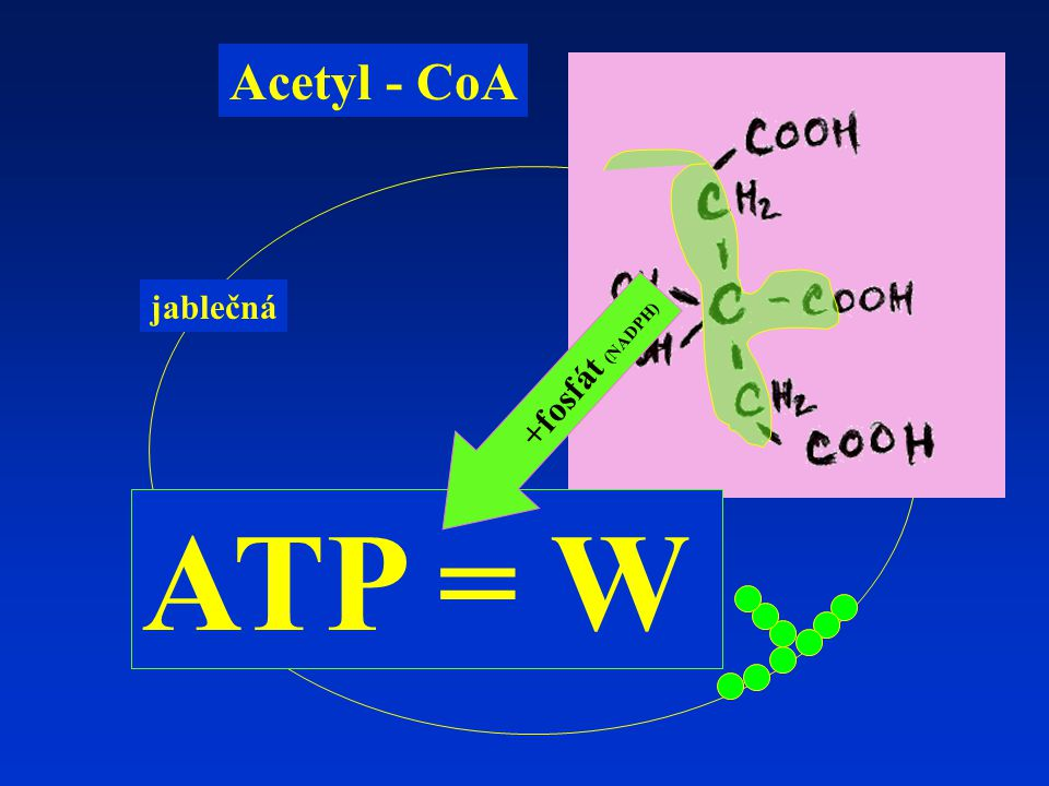 Acetyl - CoA jablečná +fosfát (NADPH) ATP = W