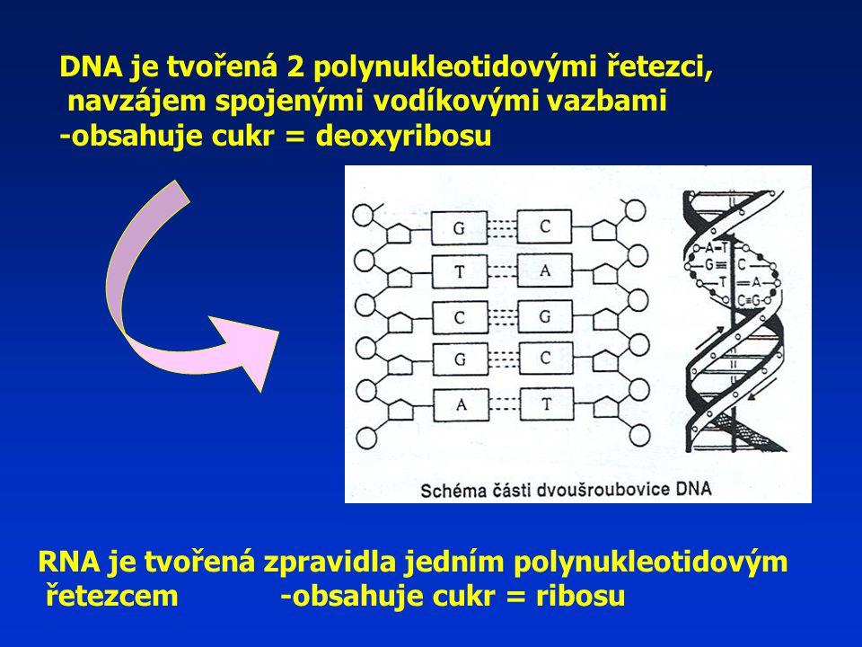 DNA je tvořená 2 polynukleotidovými řetezci,