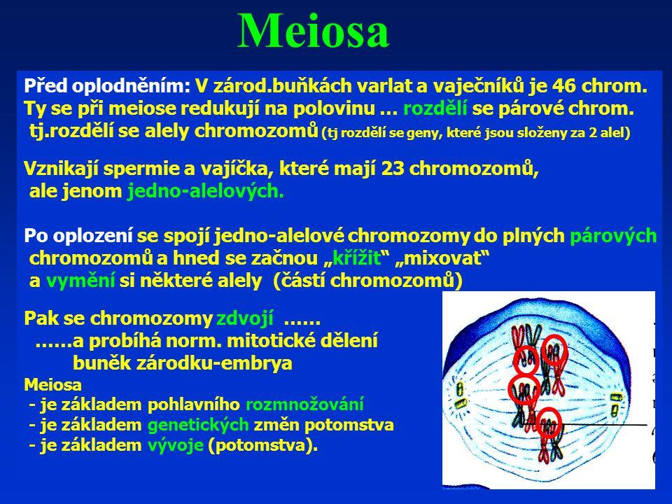 Meiosa Před oplodněním: V zárod.buňkách varlat a vaječníků je 46 chrom. Ty se při meiose redukují na polovinu … rozdělí se párové chrom.