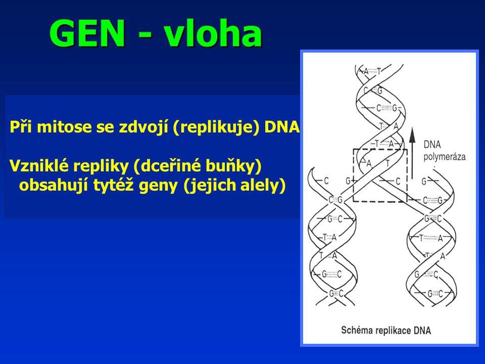 GEN - vloha Při mitose se zdvojí (replikuje) DNA