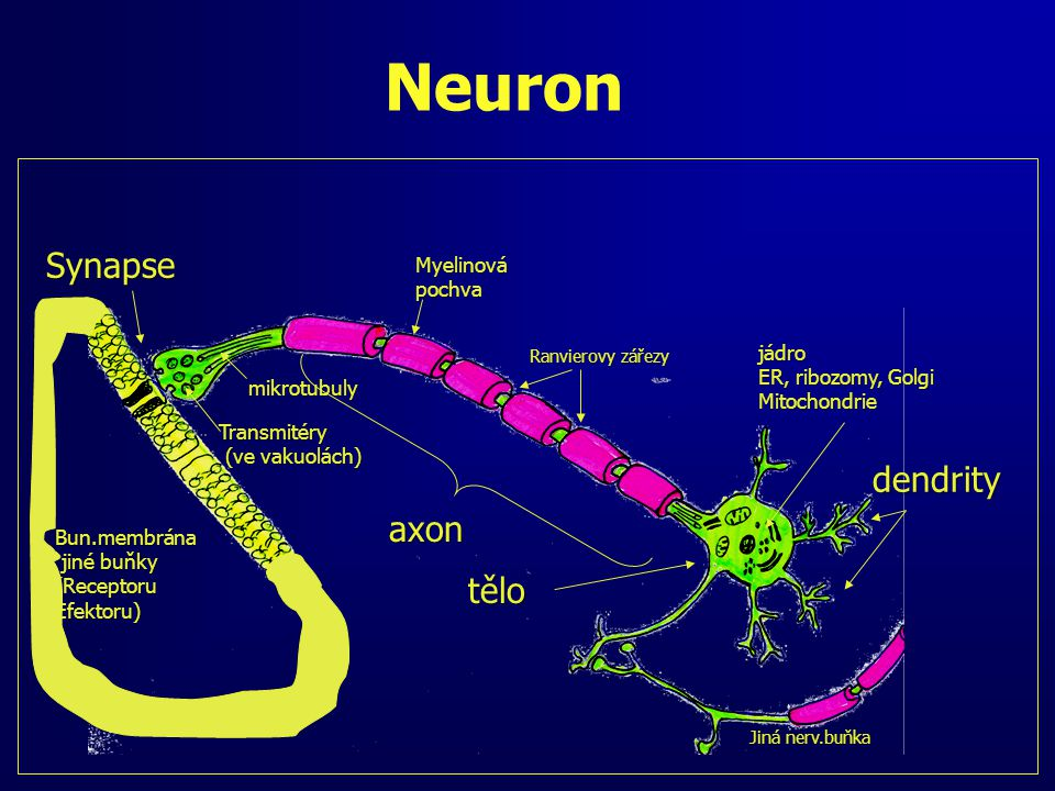 Neuron Synapse dendrity axon tělo Myelinová pochva jádro