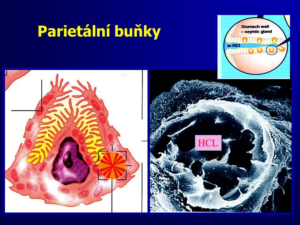 Parietální buňky HCL