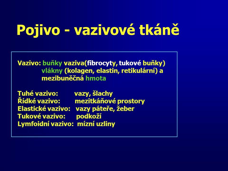 Pojivo - vazivové tkáně