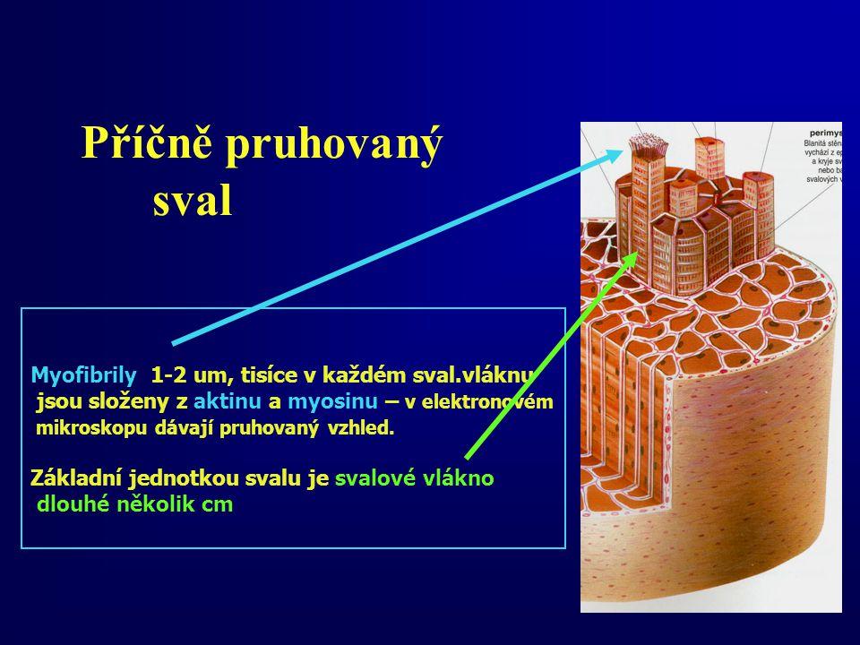 Příčně pruhovaný sval Myofibrily 1-2 um, tisíce v každém sval.vláknu