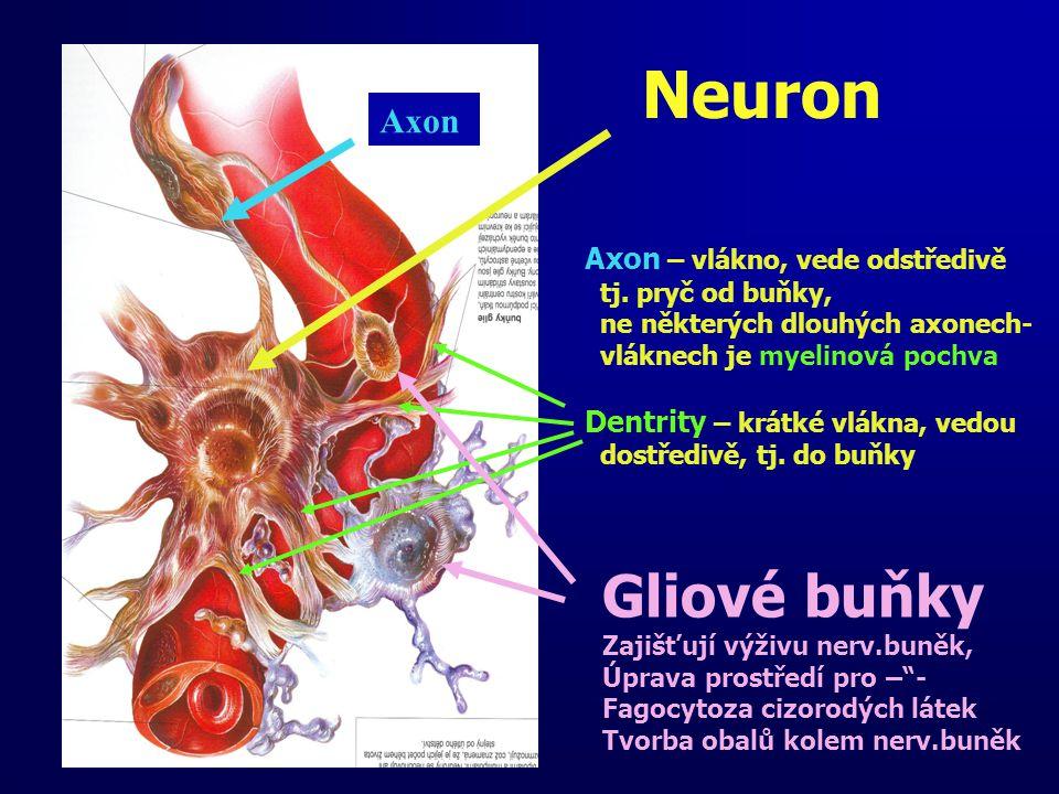 Neuron Gliové buňky Axon Axon – vlákno, vede odstředivě