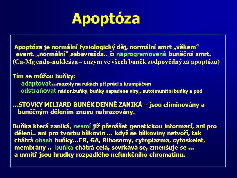"""Apoptóza Apoptóza je normální fyziologický děj, normální smrt """"věkem event. """"normální sebevražda.. či naprogramovaná buněčná smrt."""