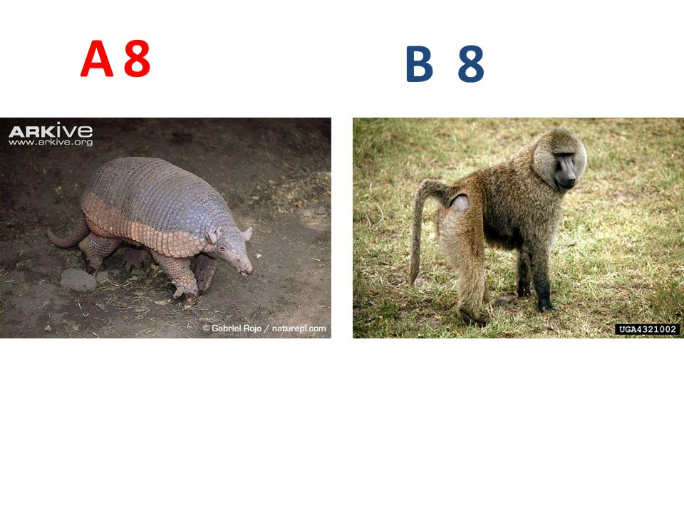 A 8. B. 8. A8: pásovec velký http://www.arkive.org/giant-armadillo/priodontes-maximus/