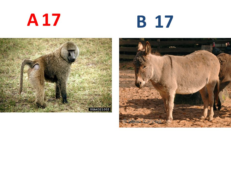 A 17 B 17