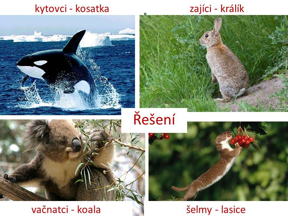 Řešení kytovci - kosatka zajíci - králík vačnatci - koala