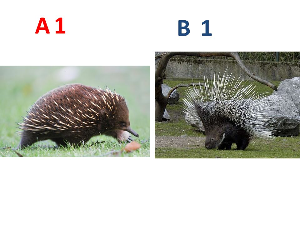 A 1. B. 1. A1: ježura australská http://en.wikipedia.org/wiki/File:Tachyglossus_aculeatus_side_on.jpg.