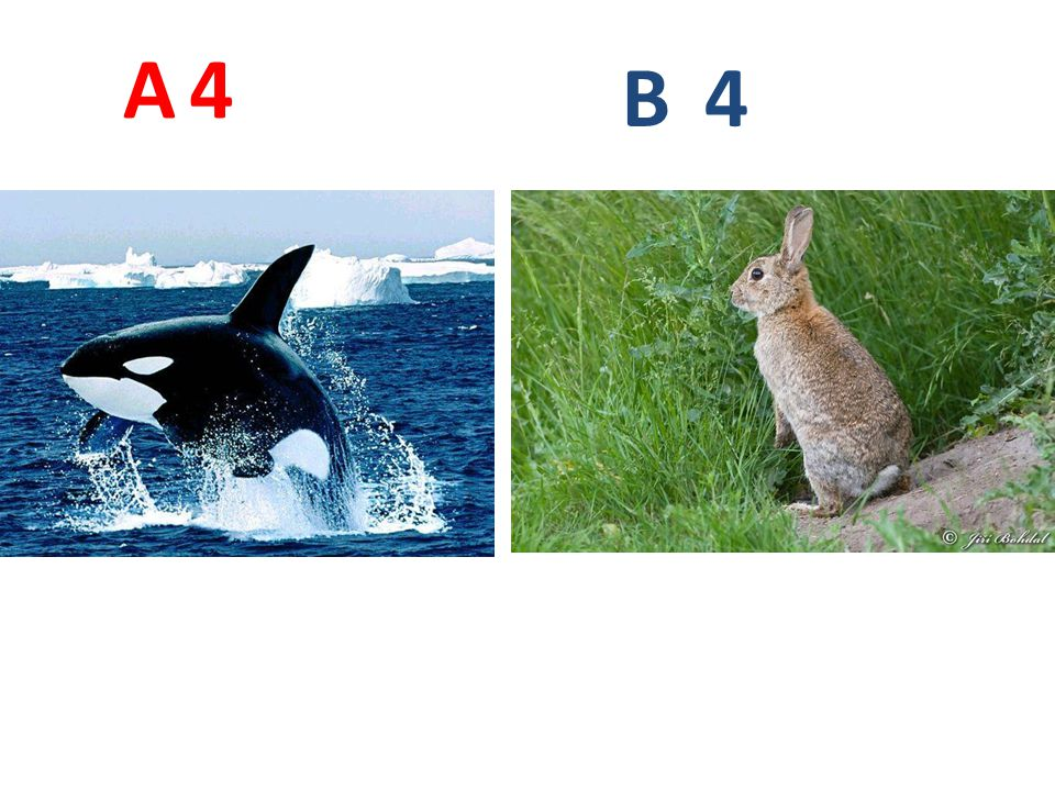 A 4. B. 4. A4: kosatka dravá http://zivazeme.cz/images/kosatka-drava06.jpg.