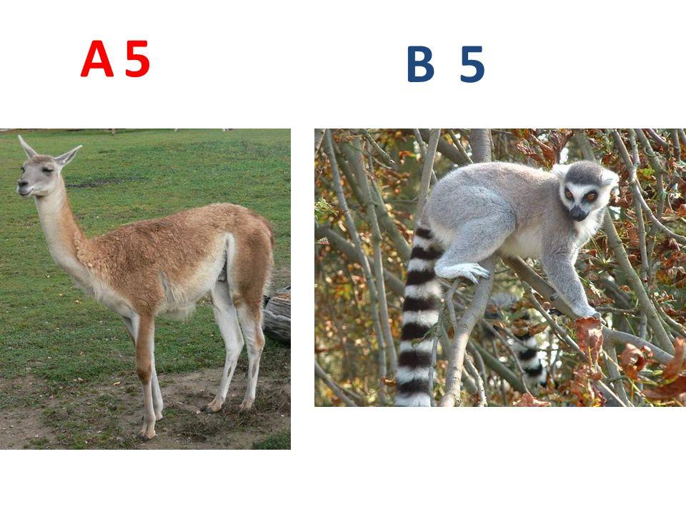 A 5 B 5 A5: lama guanako http://www.biolib.cz/IMG/GAL/24191.jpg