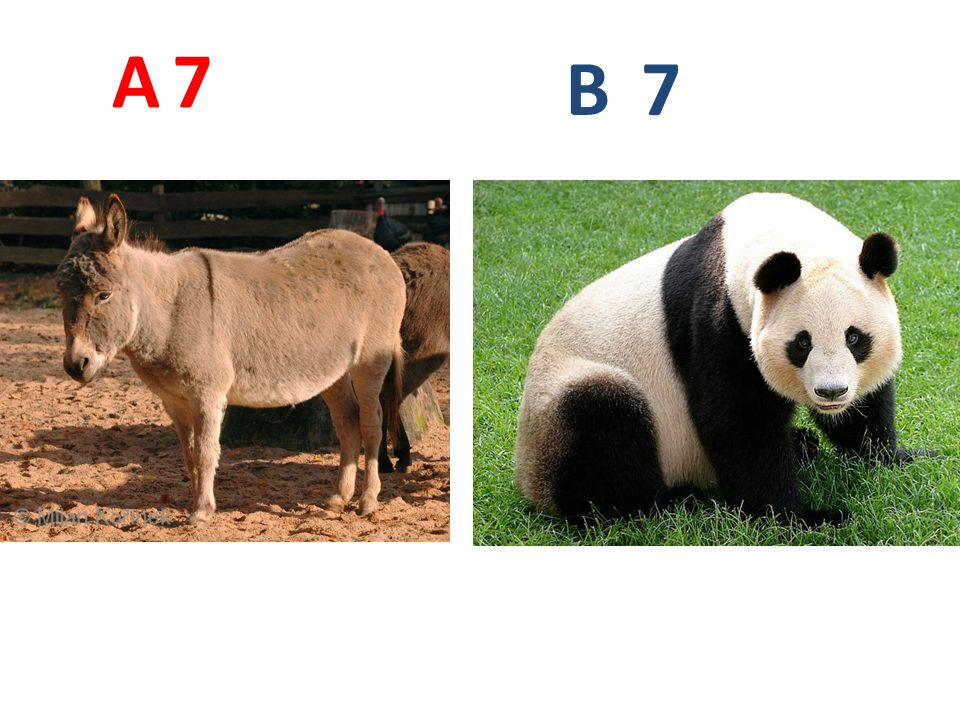 A 7 B 7 A7: osel domácí http://www.biolib.cz/IMG/GAL/39332.jpg