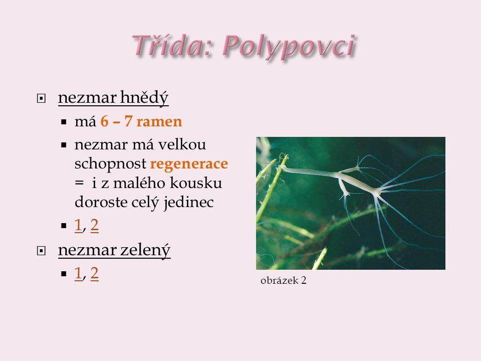 Třída: Polypovci nezmar hnědý nezmar zelený má 6 – 7 ramen